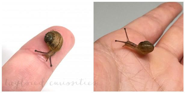 taylored curiosities pet snail happy pet
