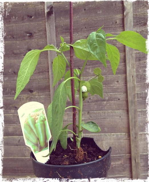 taylored curiosities seedlings on my jalapeno plants